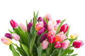 Pink and violet tulips — Stock Photo