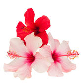 Bunch of  red and pink hibiscus flowers — Stock Photo