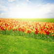 Green lawn with tulips — Stock Photo #42198573