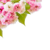 Blossoming cherry tree   Flowers — Stock Photo