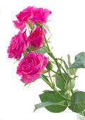 Bush of pink roses close up — Stock Photo