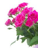Bush of pink roses — Stock Photo