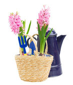 Gardening tools with hyacinth — Stok fotoğraf