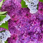 Lylac flowers background — Stock Photo