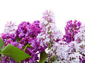 Border of fresh  lilac flowers — Стоковое фото