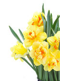 Spring narcissus close up — 图库照片