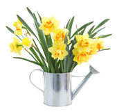 Narcissus flowers in watering can — Photo