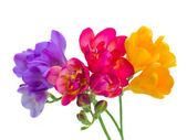 Blue, red and yellow freesia  flowers — Стоковое фото
