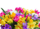 Freesia and daffodil  flowers  border — Stock Photo