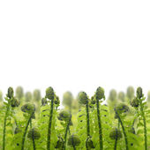 Border of green ferm sprouts — Stock Photo