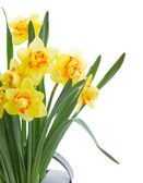 Yellow narcissus close up — Stock Photo