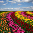 Dutch colorful tulips fields in sunny day — Stock Photo #43984973
