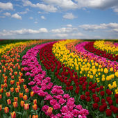 Dutch colorful tulips fields in sunny day — Stock Photo