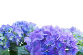 Border of blue hortensia flowers — Stock Photo