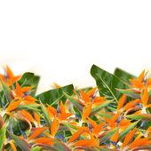 Strelitzia flowers border — Stock Photo