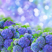 Blue hortensia flowers — Stock Photo