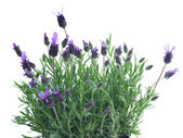 Fresh purple lavender flowers on white — Stock Photo