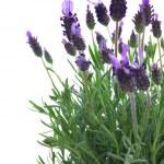 Fresh purple lavender flowers on white — Stock Photo #45166581