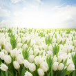 Green lawn with white tulips — Stock Photo #45208887