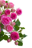 Border of  pink roses brunches close up — Foto Stock