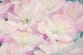 Fresh pink cherry flowers — Stock Photo