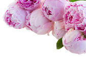 Border of pink peonies — Stockfoto