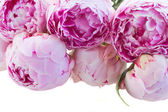 Border of pink peonies — Stock Photo