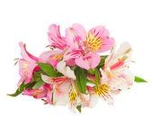 Alstroemeria çiçek — Stok fotoğraf