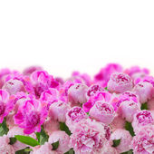 Garden of pink peonies — Foto Stock