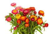 Everlasting flowers — Photo