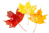 Yellow, orange  and red fall leaves — Stock Photo
