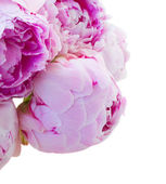 Pink peonies buds — Stock Photo