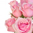 Close up of fresh pink garden roses — Stock Photo #49418735