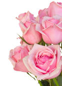 Close up of fresh pink garden roses — Stockfoto