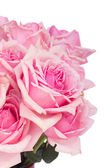Close up of fresh pink garden roses — Stock Photo