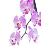 Pink  orchid branch close up — Stock Photo
