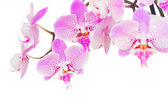 Pink  orchid branch close up — Photo