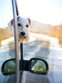 The dog looks out from the car — Stock Photo