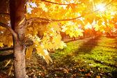 Autumn tree at sunset — Stock Photo