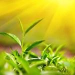 folhas de chá — Fotografia Stock  #17200651