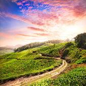 Tea plantation in Munnar — Stock Photo
