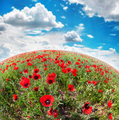 Poppy flowers field — Stock Photo