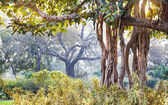 Banyan tree in India — Stock Photo
