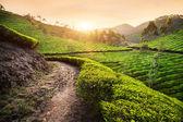 Tea plantations at sunset — Foto Stock