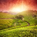 Tea plantations at sunset — Stock Photo #40890323