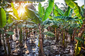 Banana plantations — Stock Photo