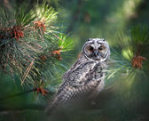 Long eared owl in the forest — Stock fotografie