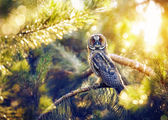Long eared owl in the forest — Stock Photo