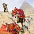 Bedouin camel rests near the Pyramids, Cairo, Egypt - Stock Photo