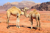Family of wild camels — Stock Photo